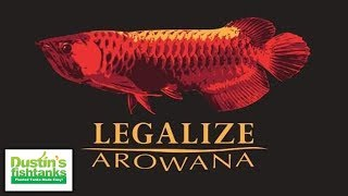 ILLEGAL Wild Caught Aquarium Fish: Red Arowana