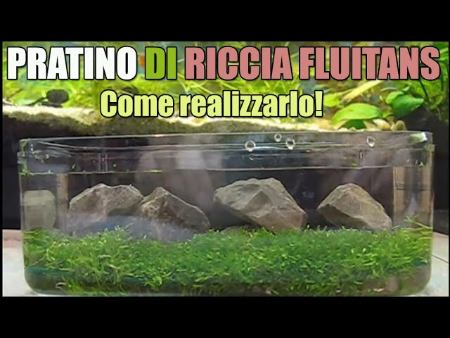 Come creare pratino acquario riccia fluitans muschio moss pellia how to setup lawn in the aquarium