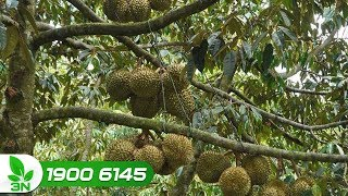 Làm cách nào để cây sầu riêng có quả?