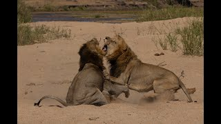 MALE LIONS FIGHT