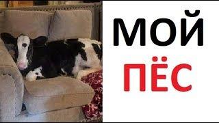 Лютые приколы. Почему моя собака мычит и дает молоко?
