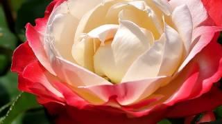 Все цветы тебе. красивая  песня.