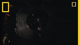 Spider Kills Bat | National Geographic thumbnail