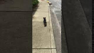 YorkiePoo Puppies Videos