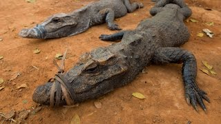 Mysterious crocodile of the Congo on Perspective Wild
