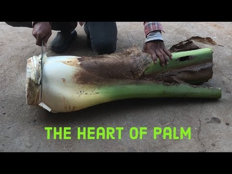 Cutting coconut and Discover The heart of palm for Swamp Cabbage Strew