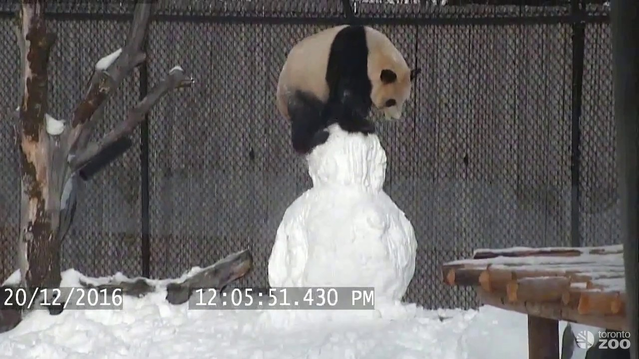 Giant Panda Brutalises Snowman