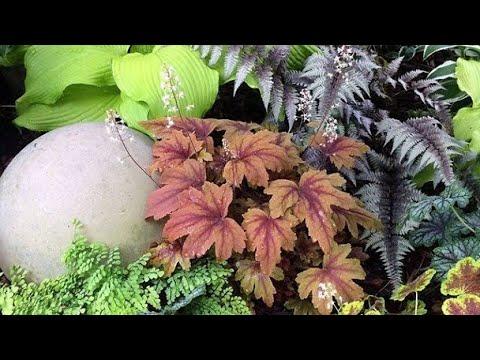 Как посеять Гейхеру в марте. Какие растения посадить с гейхерой.