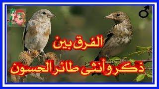 فرق بين ذكر و أنثى فراخ الحسون أهم العلامات