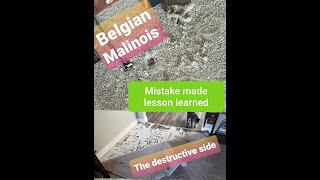 Belgian Malinois (share) DO NOT LEAVE ALONE. (Destructive) Mistake Made Lesson Learned.