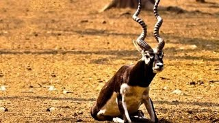 Lazy Black buck & Indian Antelope !