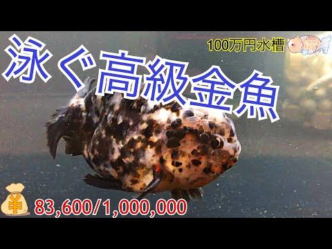 """【100万円水槽】""""最高の""""江戸錦!! 〜100万円水槽プロジェクト記念すべき1匹目〜"""