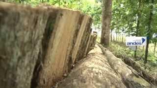 El cultivo de la teca se desarrolla en Ecuador