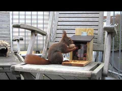 Eichhörnchen bekommt neue Futterbox / Red squirrel gets new feeding box [HD]