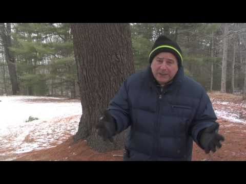 Champion White Eastern Pine