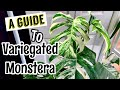 A Care Guide to Variegated Monstera