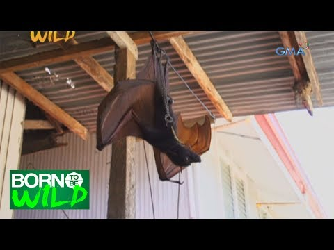 Download Born To Be Wild: Rescuing A Large Flying Fox HD Mp4 3GP Video and MP3