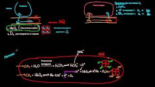 Гемоглобин переносит О2 и СО2