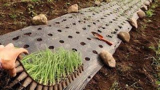 Как вырастить лук из семян (чернушки)/Zwiebeln anbauen: Samen, Aussaat, Pflege/Cebollas de semilla