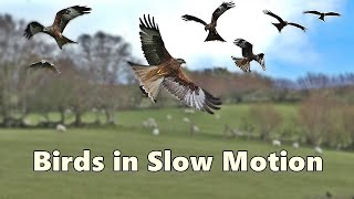 Birds Flying in Slow Motion Spectacular