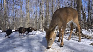 Wild Deer and Turkeys in the Forest - 10 hours - March 8, 2021