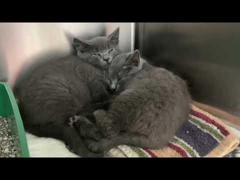 Vera & Vito - Bonded Siblings, an adopted Domestic Medium Hair in Clifton, NJ_image-1