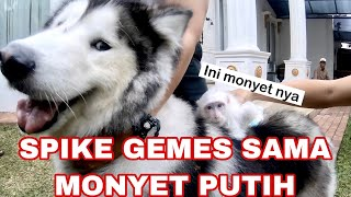 Video SPIKE GIGIT MONYET PUTIH !! ( Malamute attack Monkey )   - VLOG MP3, 3GP, MP4, WEBM, AVI, FLV September 2019