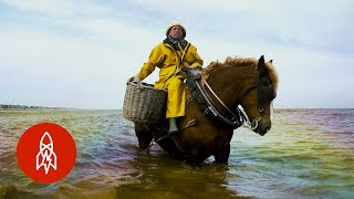 Shrimp Fishing on Horseback for 700 Years