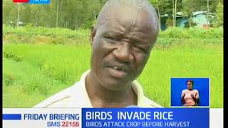 Rice farmers in Kisumu are counting losses after quelea and weaver birds invaded their crops