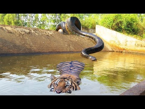 Big Cat Powerful Become Prey Of The Giant Anaconda - Wild Animal Attacks