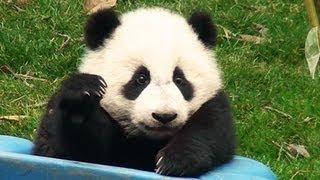 preview picture of video 'Panda Babies Chengdu  パンダの赤ちゃん 中国成都'