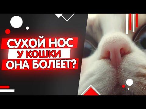 Почему у кошки сухой нос - она заболела?