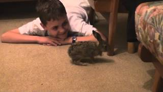14 day old leveret (baby brown hare) explores!
