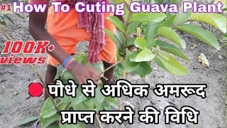 How To Make Cuttings Of Guava Plant In Most Easy Way  And Get Lot Of Fruit Per Guava Plant