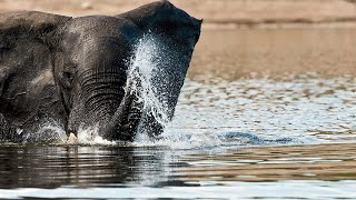 Newswise:Video Embedded how-an-elephant-s-trunk-manipulates-air-to-eat-and-drink
