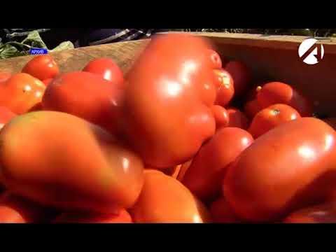Об установлении карантинной фитосанитарной зоны и карантинного фитосанитарного режима по южноамериканской томатной моли в Астраханской области