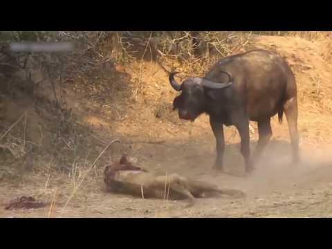 Búfalo mata leão.  O mais forte foi vencido