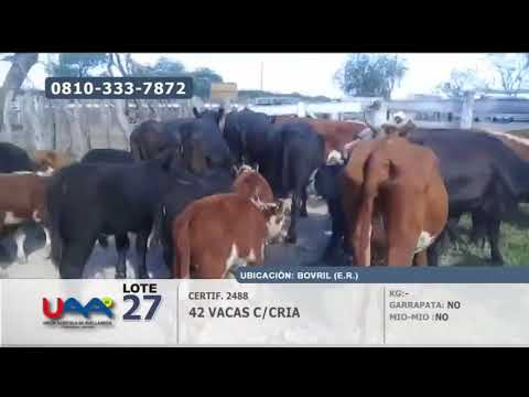 Lote Vacas c/cria en Bovril (Entre Rios)