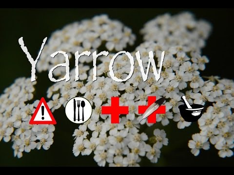 Video Yarrow: Edible, Medicinal, Cautions & Other Uses