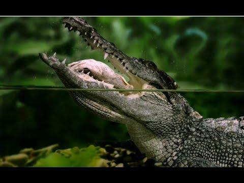 Crocodilo do Nilo, Crocodilo de água doce, Crocodilo de água salgada