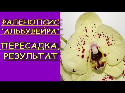 """ОРХИДЕЯ  phal.'Albufeira"""":ПЕРЕСАДКА+РЕЗУЛЬТАТ.Фаленопсис """"АЛЬБУФЕЙРА""""."""