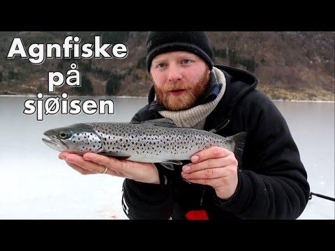 Artsfiskeri på isen. Hestemakrel, lubbe, rødnæb, kuller og mange flere