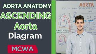 Aorta anatomy - ascending aorta diagram