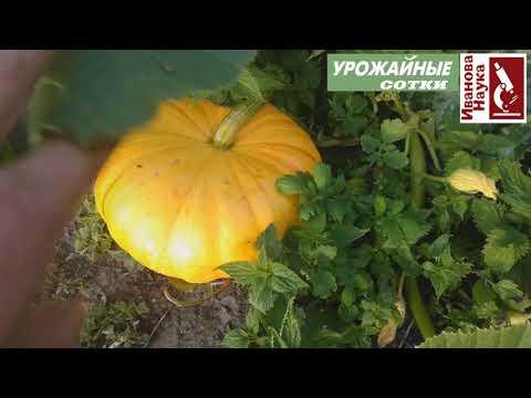, title : 'БЕЗ удобрений и подкормок. СУПЕРпростой способ получить красивые сладкие и хорошо хранящиеся тыквы.
