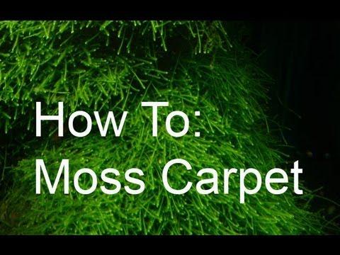 Christmas Moss Carpet.Java Moss Carpet Planted Tank Taraba Home Review