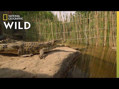 Wild Crocodiles in Cambodia | Wild Monsoon