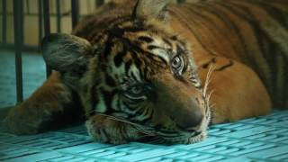 The Unseen Tigers teaser