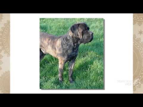 Cao dos Mourey Dog breed