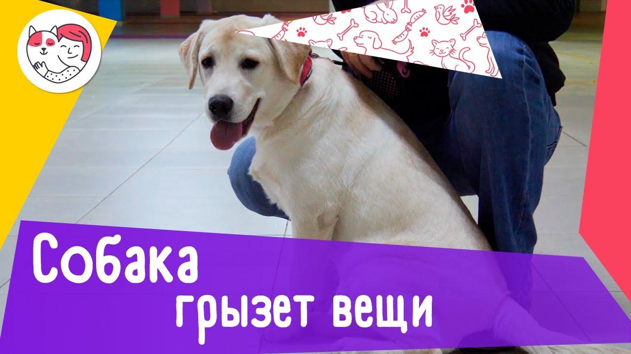 5 причин, почему собака грызет вещи