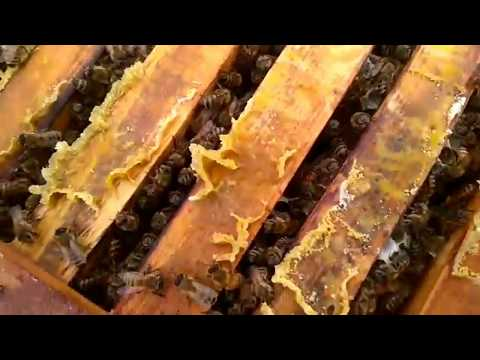 РАЗВИТИЕ ПЧЕЛ В КОЛОДЕ-спустя две недели после заселения-бортевое пчеловодство-Beekeeping.